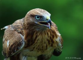 Buzzard_3 by PiTurianer