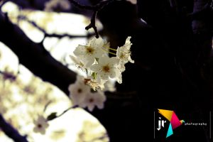 Tree flowrs in bloom. by LaCandida