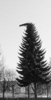 Pine tree by leftysss