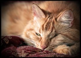 Sleepy Eye Lion by TeaPhotography