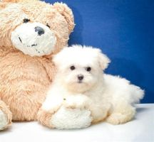 Malti poo puppies for adoption in Ohio by affordablepups