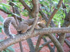 squirrel by kayas-stock