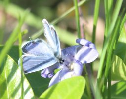 Eastern tailed blue butterfly by Laur720