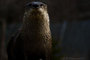 North American River Otter by sillverrfoxx