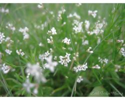 Little White Flowers by love1008