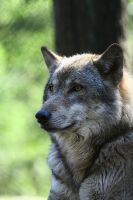 Grey Wolf: Portrait I by WhiteSpiritWolf