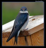 Tree Swallows 2 by boron