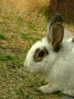Bunny (close up) by Scorpini-Stock