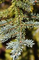 Blue Spruce by pinknfuzzy4711