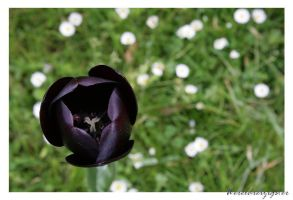 Black tulip by Wereldreizigster