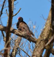 Turkey Vulture Sits by IdolRebel