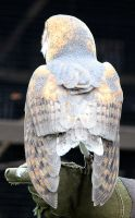 Owl Stock 19: Barn Owl by HOTNStock