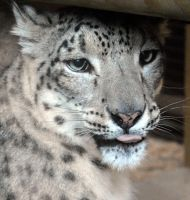 Nanga The Snow Lepard by ConsciousCreations