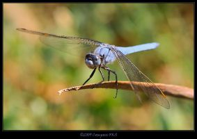 Blue Dragon Fly by CompassTR