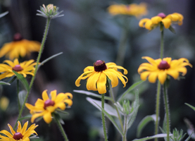 Black-Eyed Susan - 2 by Ammoniite