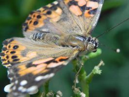 Painted Lady by BeiHuiNing