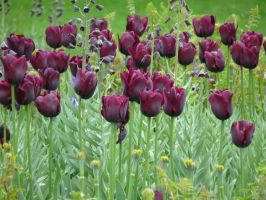 dark tulips by Dieffi
