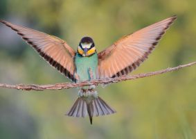 Bee-eater by corsuse