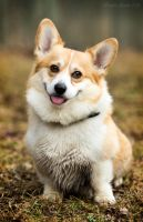Sven the Corgi by Mistyhills