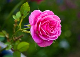 Wet Pink Rose by Belgarion11