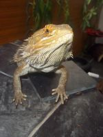 Hige the Bearded Dragon by Jovamabob