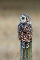 Short Eared Owl - Favourite Perch by JestePhotography