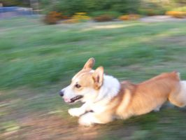 Corgi on the Move by coyoteflutesong