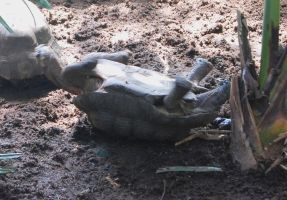 Stock 442 - Flipped Turtle by pink-stock
