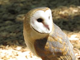 European Barn Owl by Cryostar1177