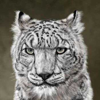 Snow Leopard by ravenscar45