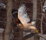 3-2-1-Launch!  Red-shouldered Hawk by arcadian7
