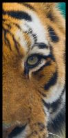 Siberian Tiger Detail by Wolfy2k4