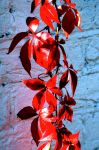 Red Leaf by Lanzie