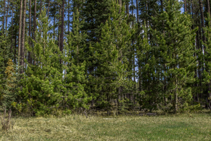 Trees in Sundre by oddmountain