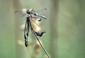 Dragonfly by Disintegrated8