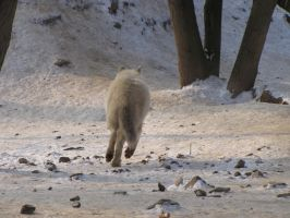North American Arctic Wolf 71 by animalphotos