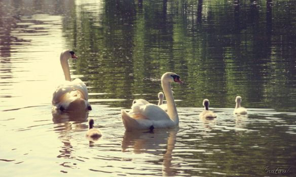 Swan Family by iNaturel