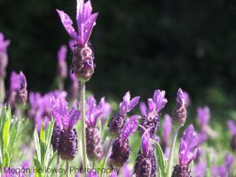 French Lavender by Meggs255