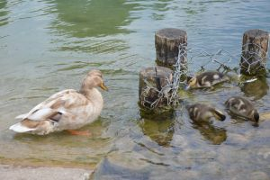 Mum and babies duck by A1Z2E3R