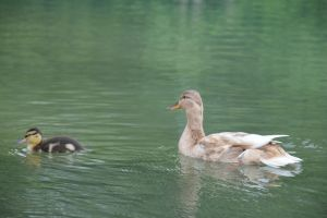 Mum and baby ducks by A1Z2E3R