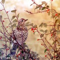 Mistle Thrush by FreyaPhotos