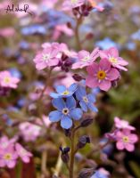 an old pink-blue by ad-shor