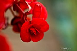 Red Begonia by thriftyredhead
