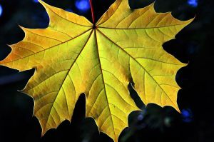 yellow leaf by augenweide
