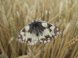 Marbled White by faithless12
