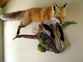 RedFox2013Leaping3 by greentrapper
