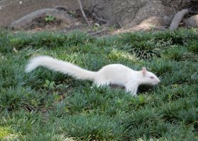 Albino Squirrel by rlkitterman