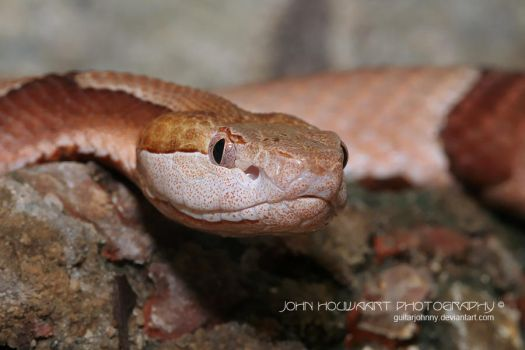 Copperhead by guitarjohnny