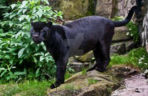 Black Jaguar 272-11A by Haywood-Photography