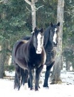 Black Beauty's by RabRawlins